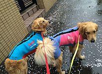 雨の日に愛犬用ウェットスーツ